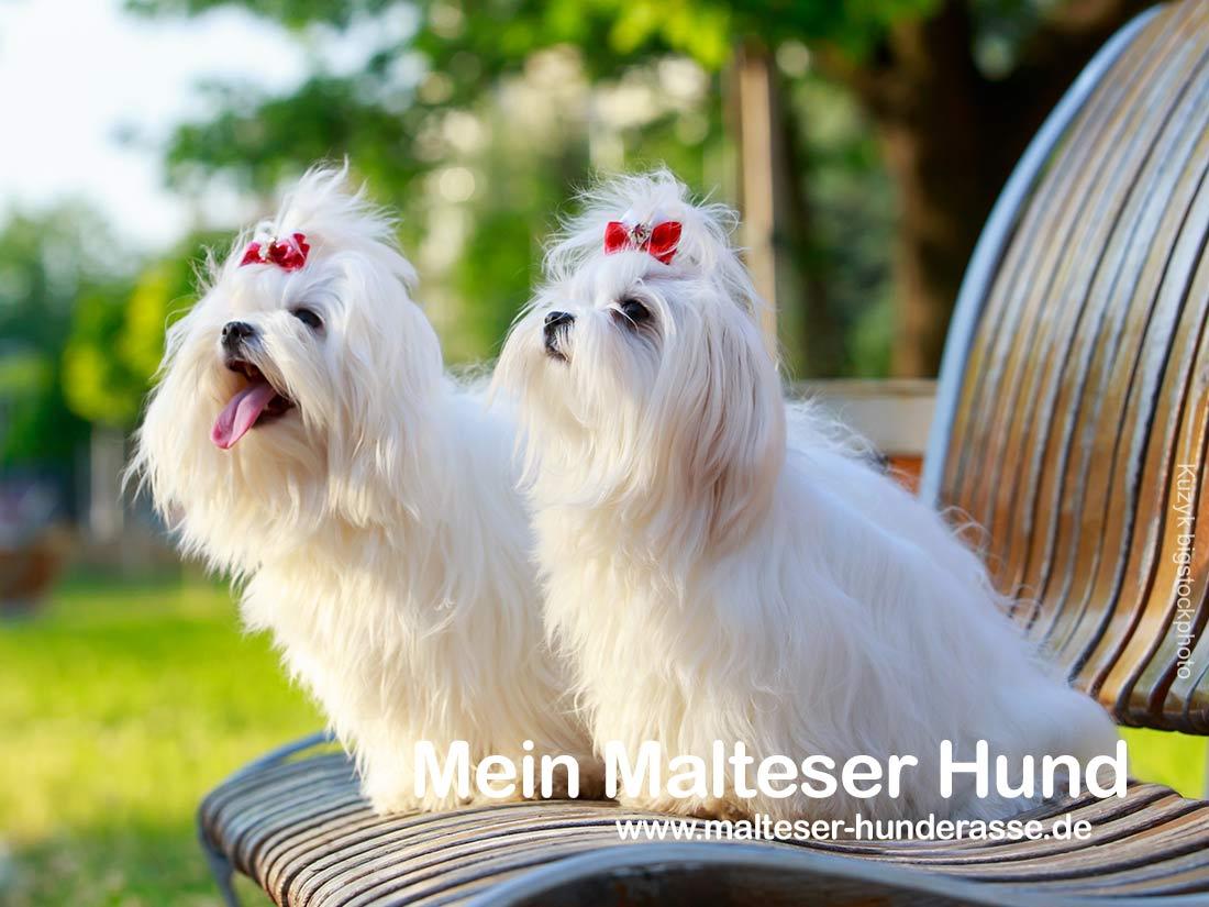 Malteser Hunderasse, Charakter