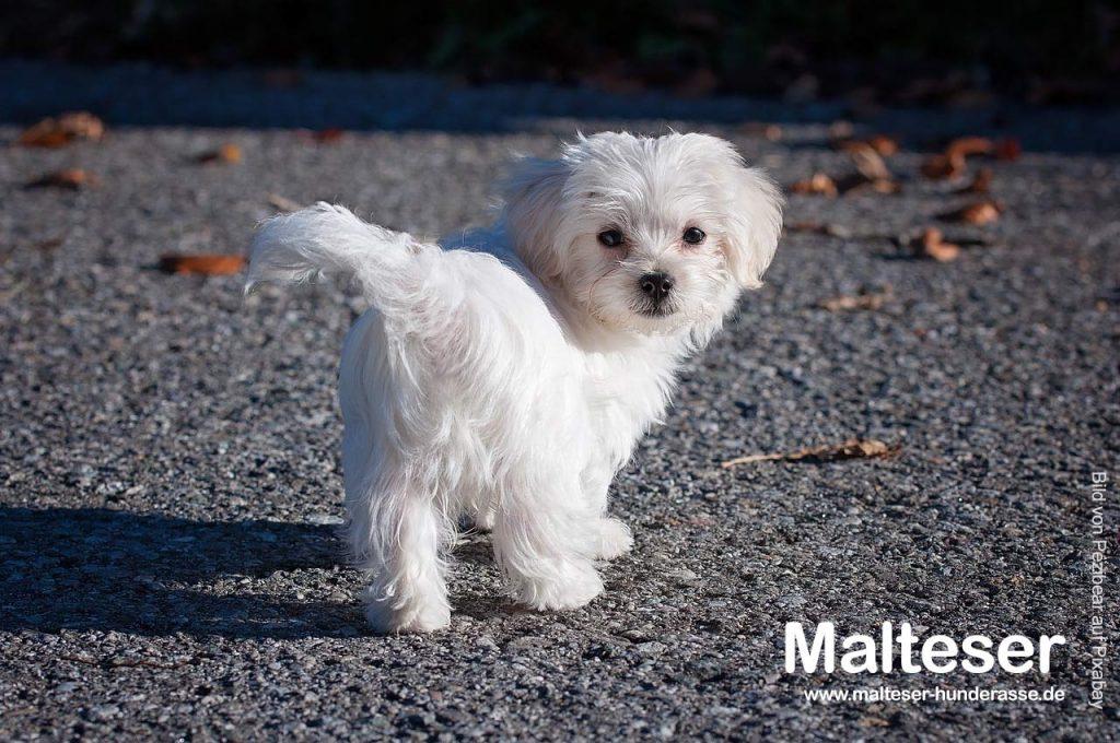 Malteser-Hund-wesen-charakter