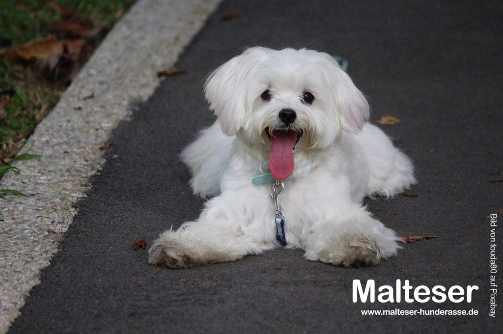 Malteser-Hunde-bild