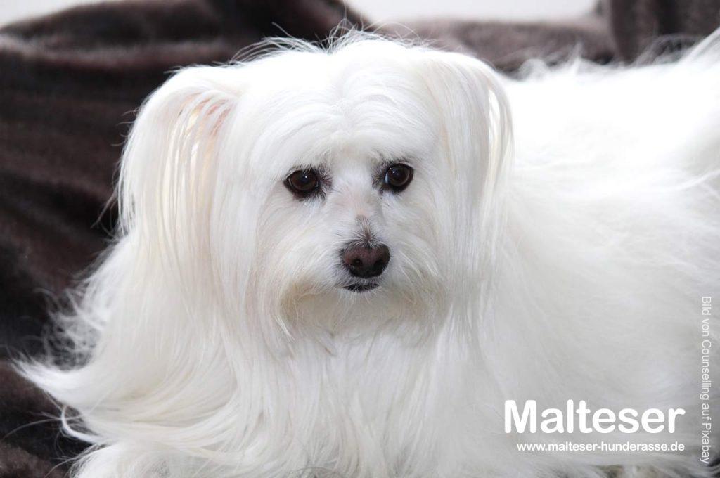 malteser-hund-huendin
