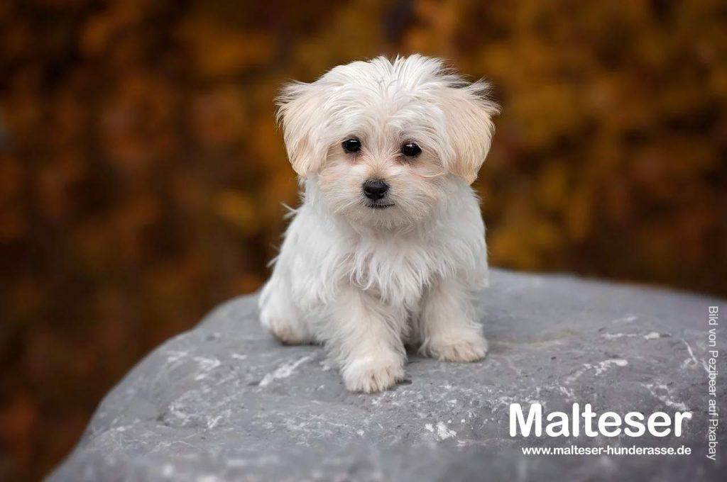 malteser-hunde-welpe