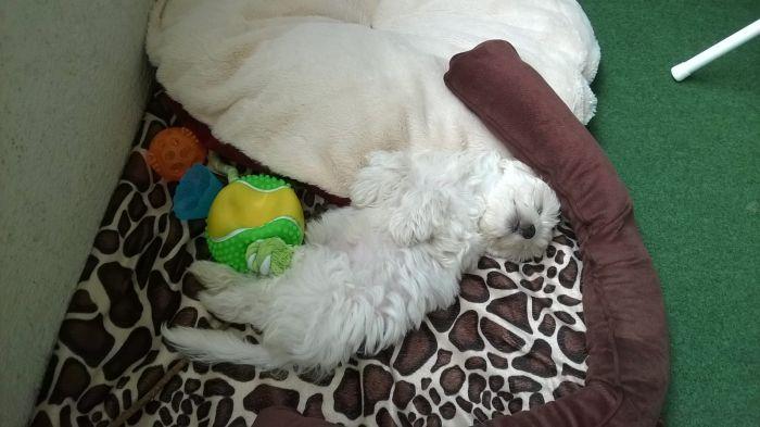 malteser-hund-fotos (16)