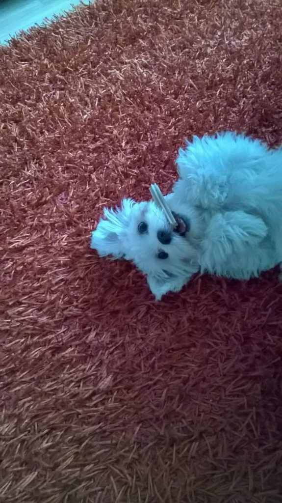 malteser-hund-fotos (20)