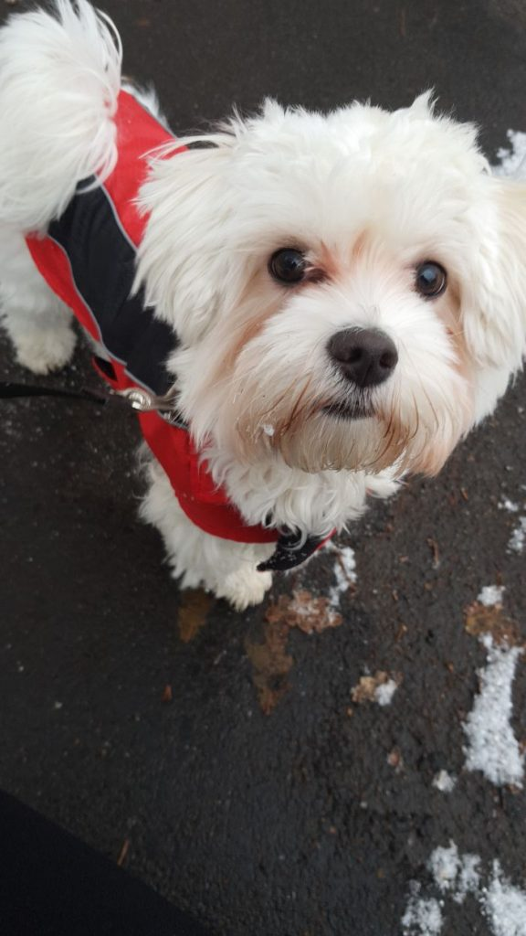 malteser-hund-fotos (21)