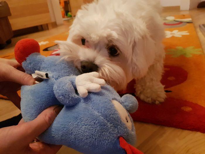 malteser-hund-fotos (6)
